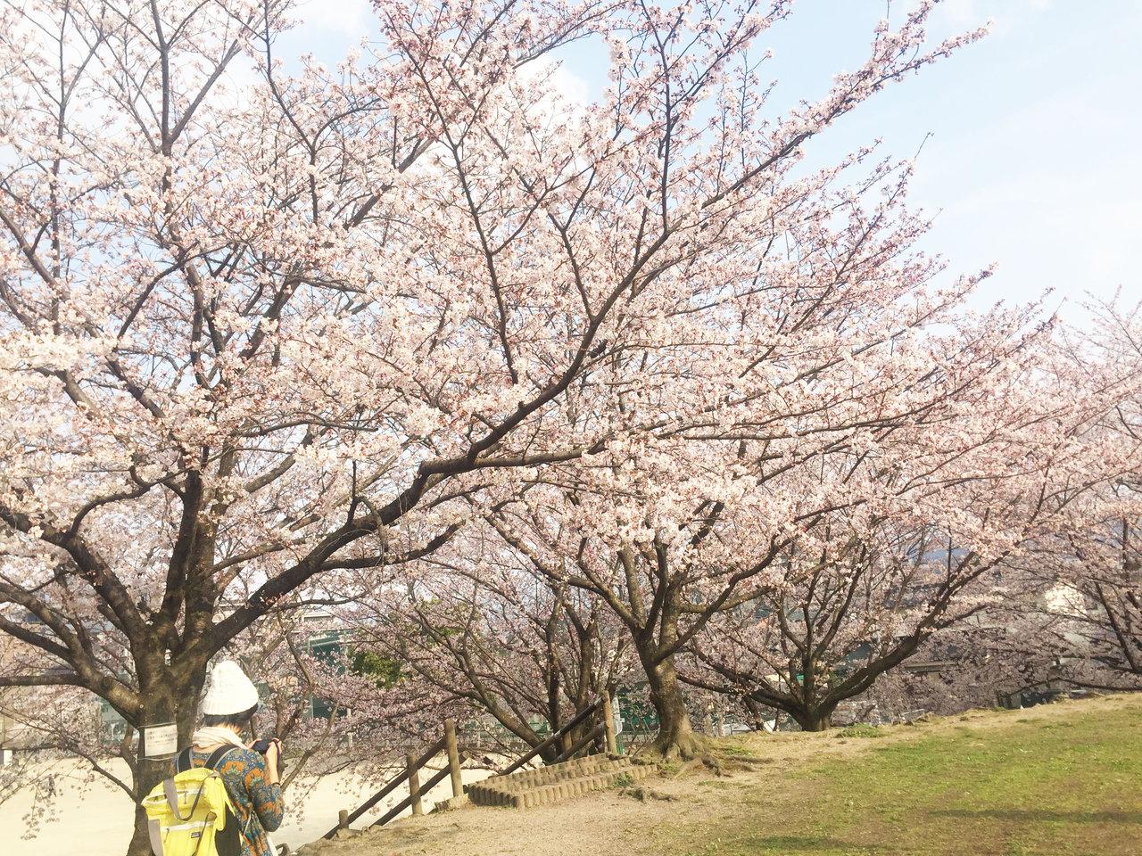 那珂川町の安徳公園の桜5