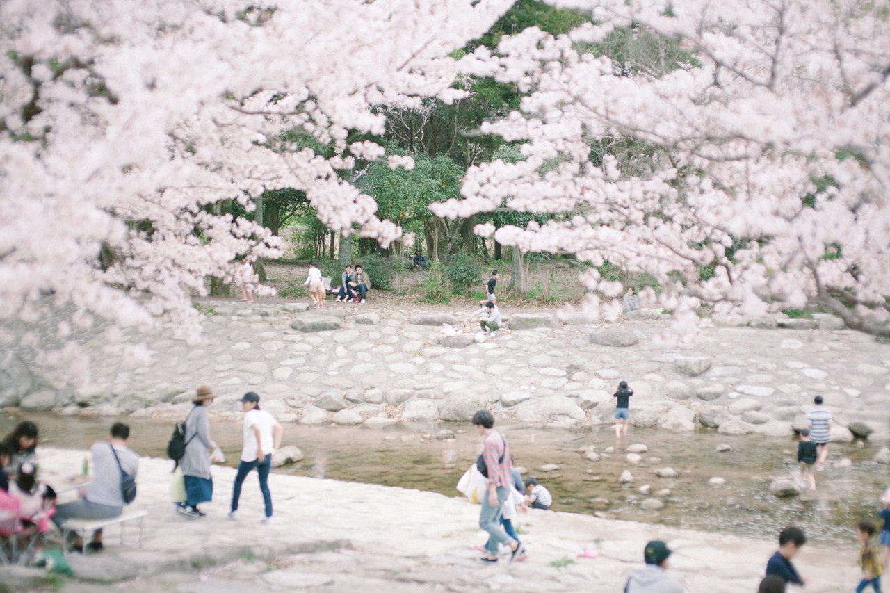 桜咲く中ノ島公園