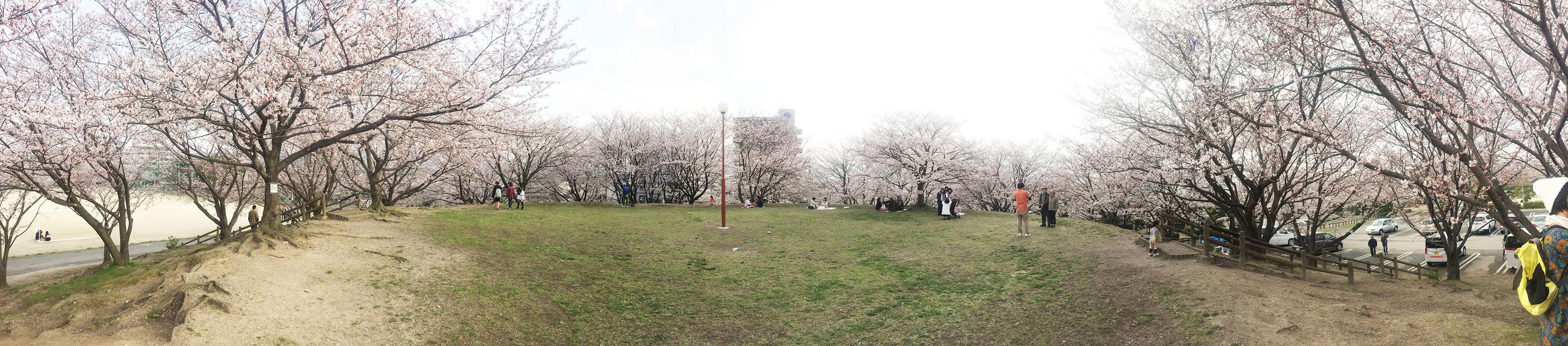 那珂川町の安徳公園の桜5(パノラマ)