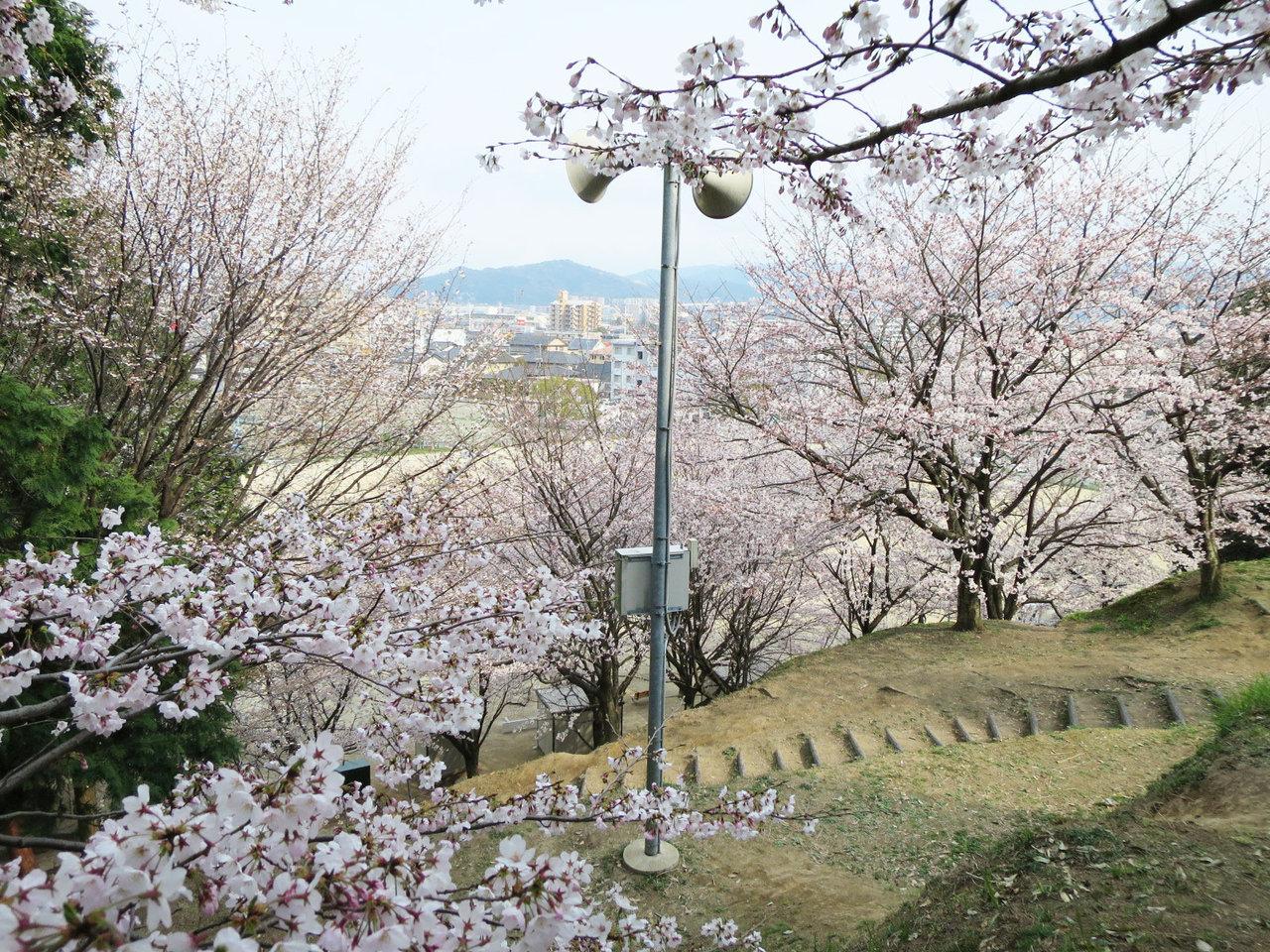 那珂川町の岩戸公園の桜1