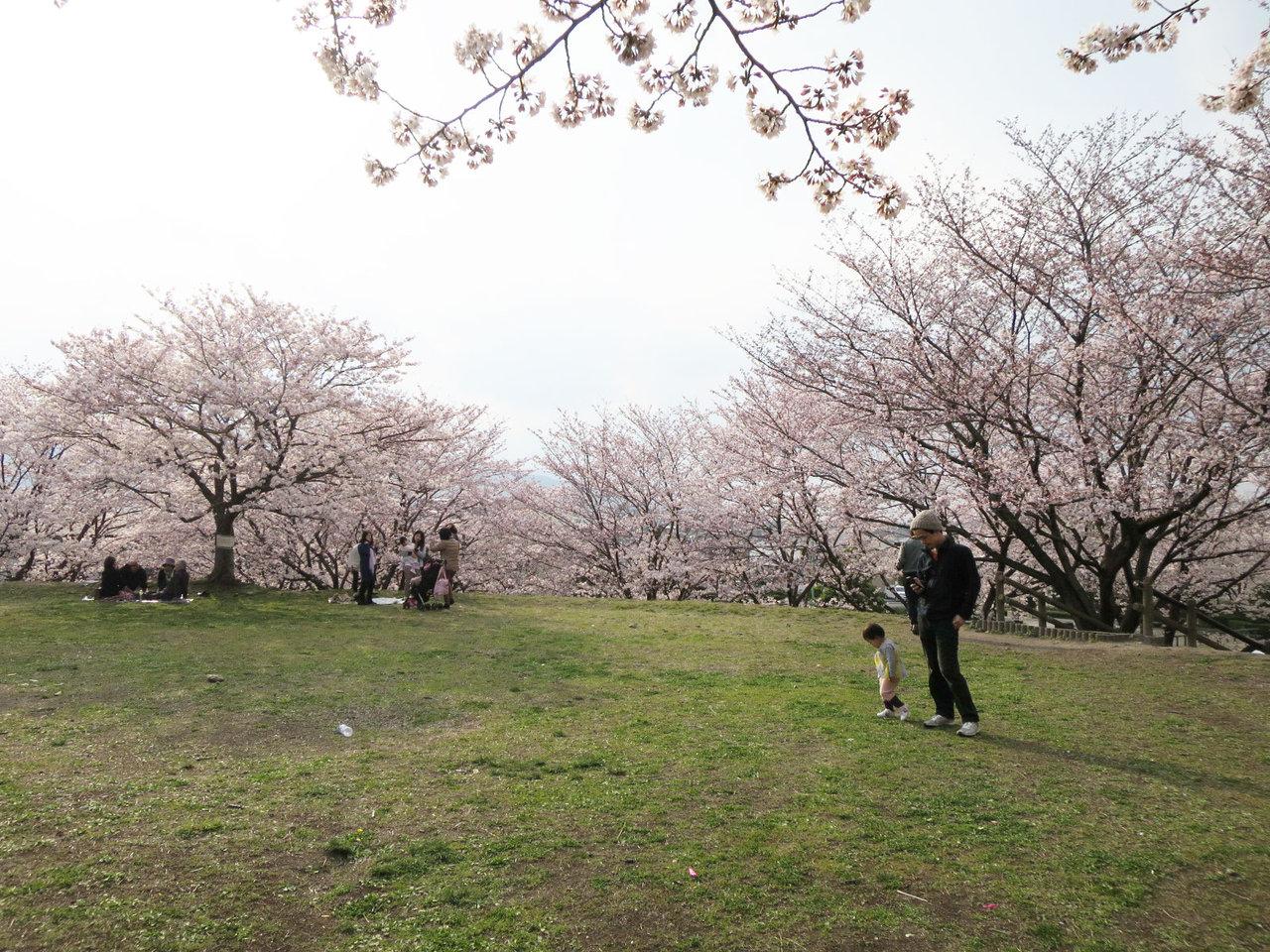 那珂川町の安徳公園の桜4