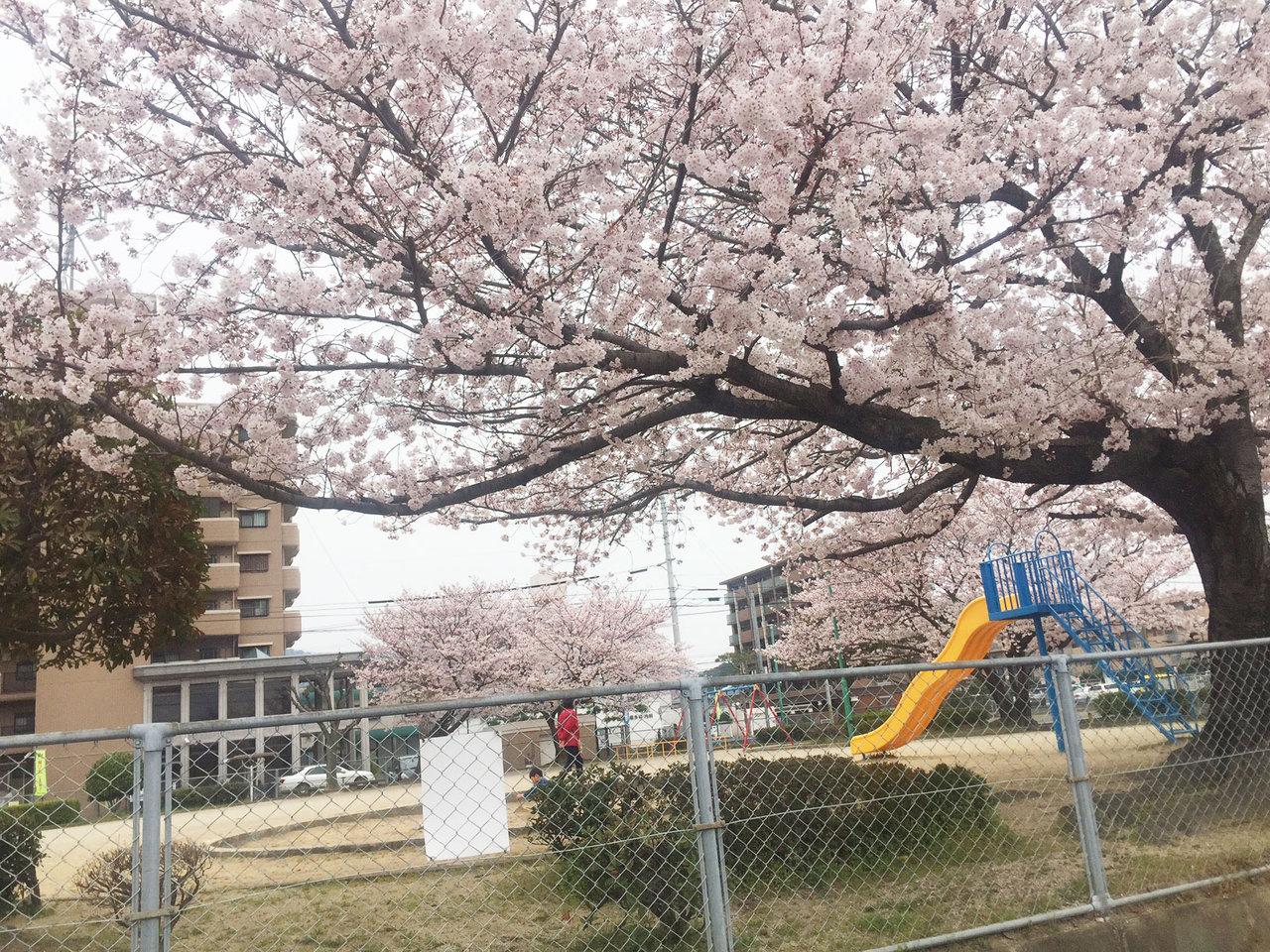 那珂川町の谷口公園の桜