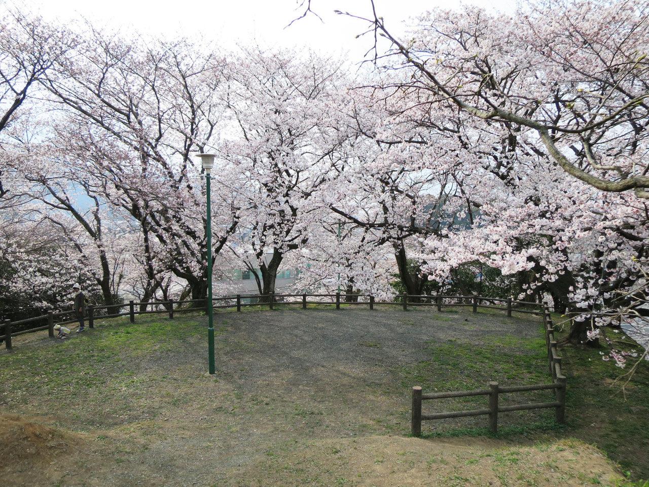 那珂川町の岩戸公園の桜2
