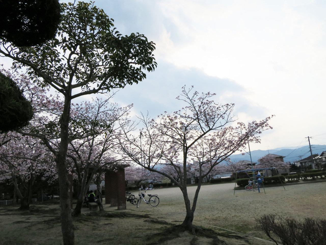 那珂川町の中原公園の桜1