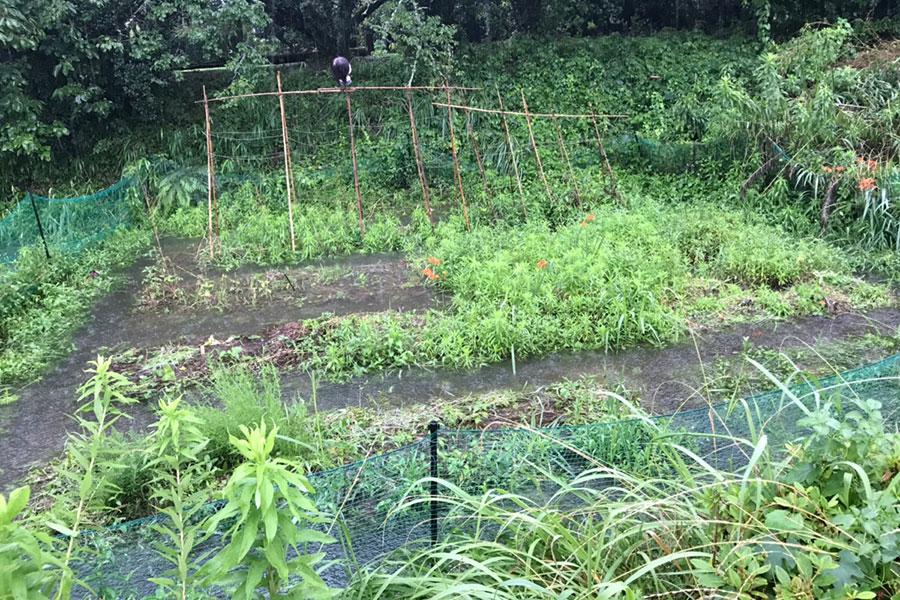 大雨で冠水した畑