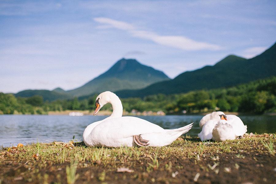 湖畔の朝は白鳥がお出迎え