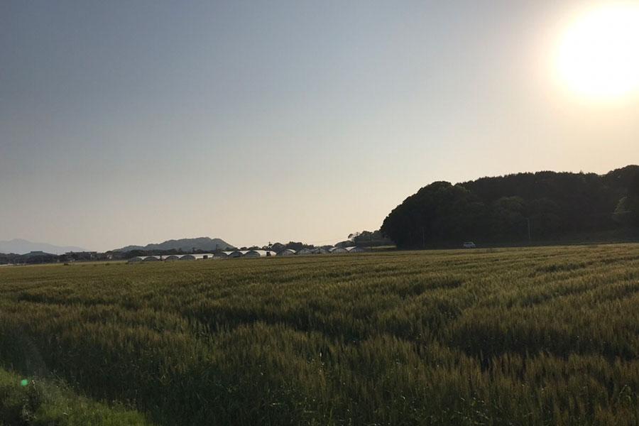 一面に広がる小麦畑