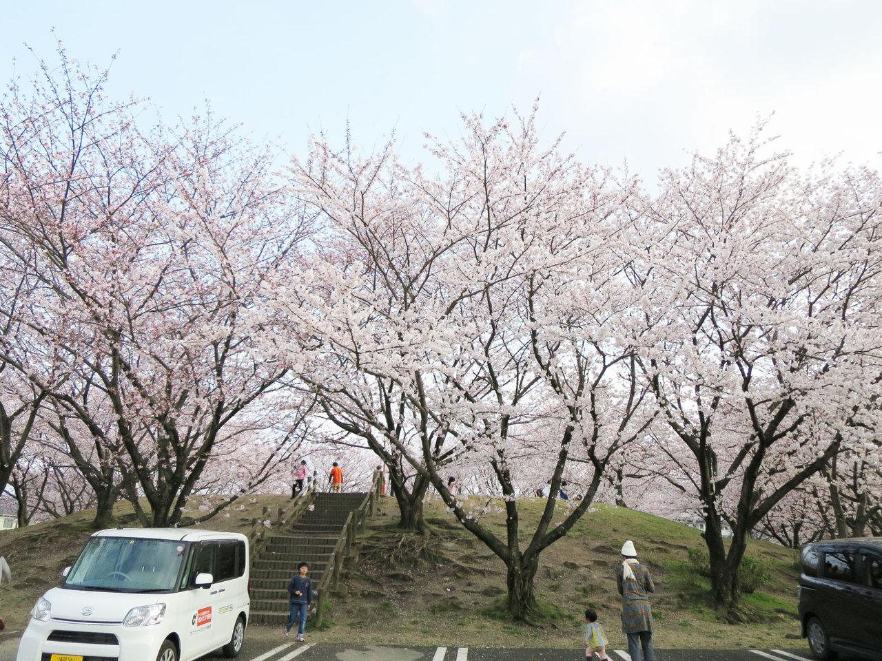 那珂川町の安徳公園の桜2