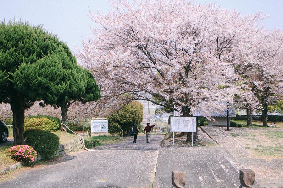 公園入口中央の大桜