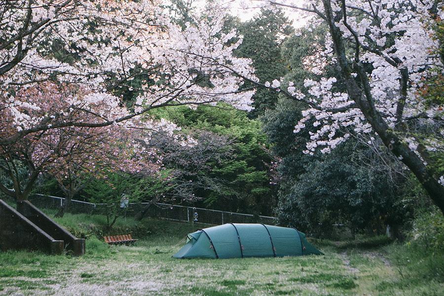 満開の桜の中でサイトを独り占め