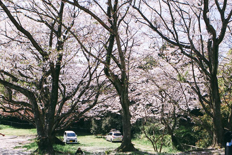 遊具広場から見るキャンプエリア側の桜