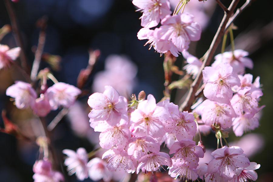 山田の初御代桜1