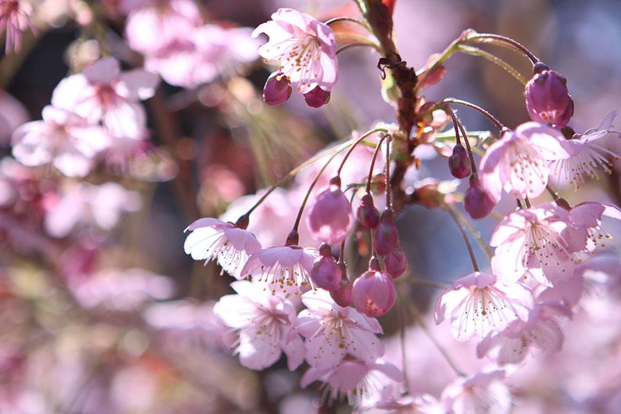 山田の初御代桜2