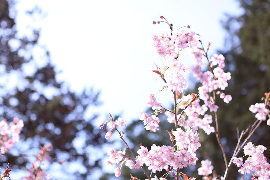 山田の初御代桜3