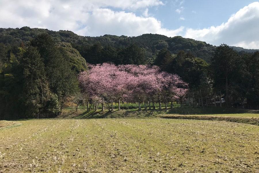 遠くから見た山田の初御代桜