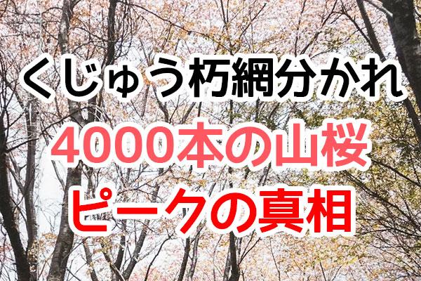 朽網分かれの4000本桜(noboro)ピークの真相