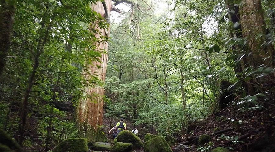 苔むした市房杉並木のトレイル