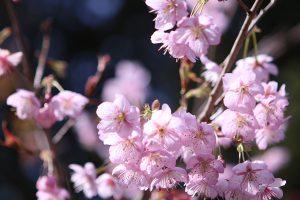 圧倒的な存在感!那珂川市山田の「初御代桜」を見に行こう♪