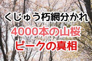 くじゅう朽網分かれ(くたみわかれ)に咲く4000本の山桜の開花ピークはいつ?